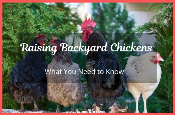 Raising Backyard Chickens - What You Need to Know