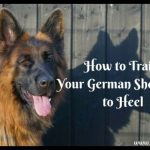 How to Train Your German Shepherd to Heel