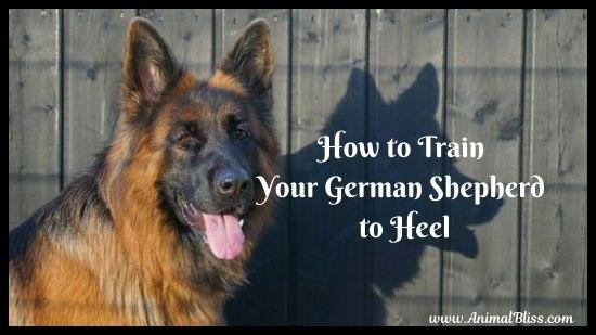 How to Train Your German Shepherd to Heel